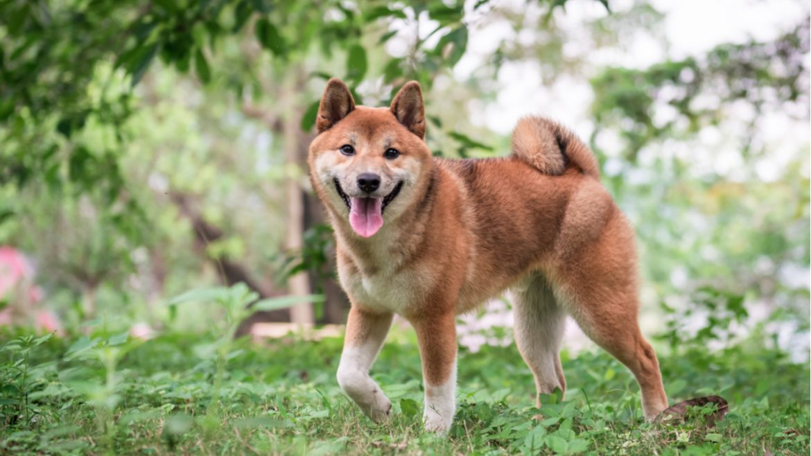 Shiba Inu Gets Listed on Binance and FTX After Price Skyrockets